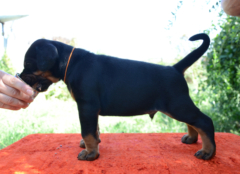 R-litter (Pride of Russia Taymyr x Sant Kreal Maxima)